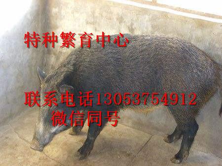临汾野猪价格