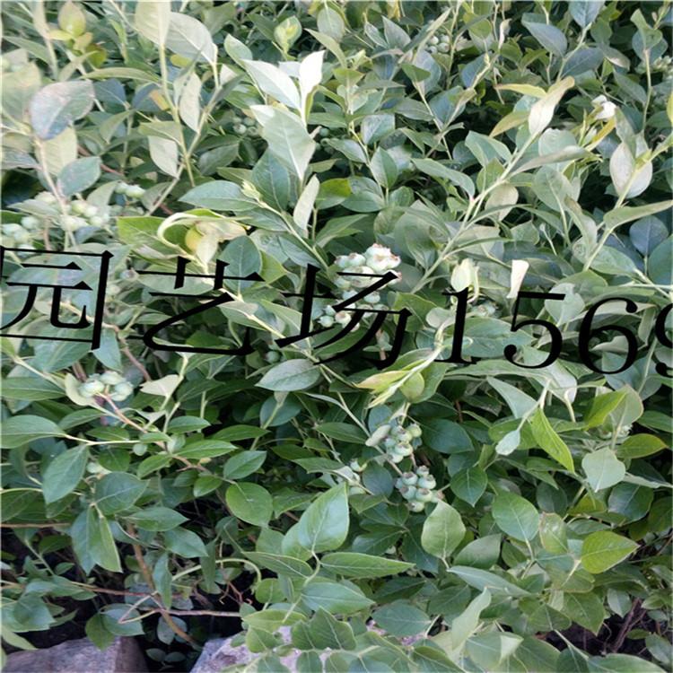 商洛蓝丰蓝莓苗矮丛蓝莓苗价格
