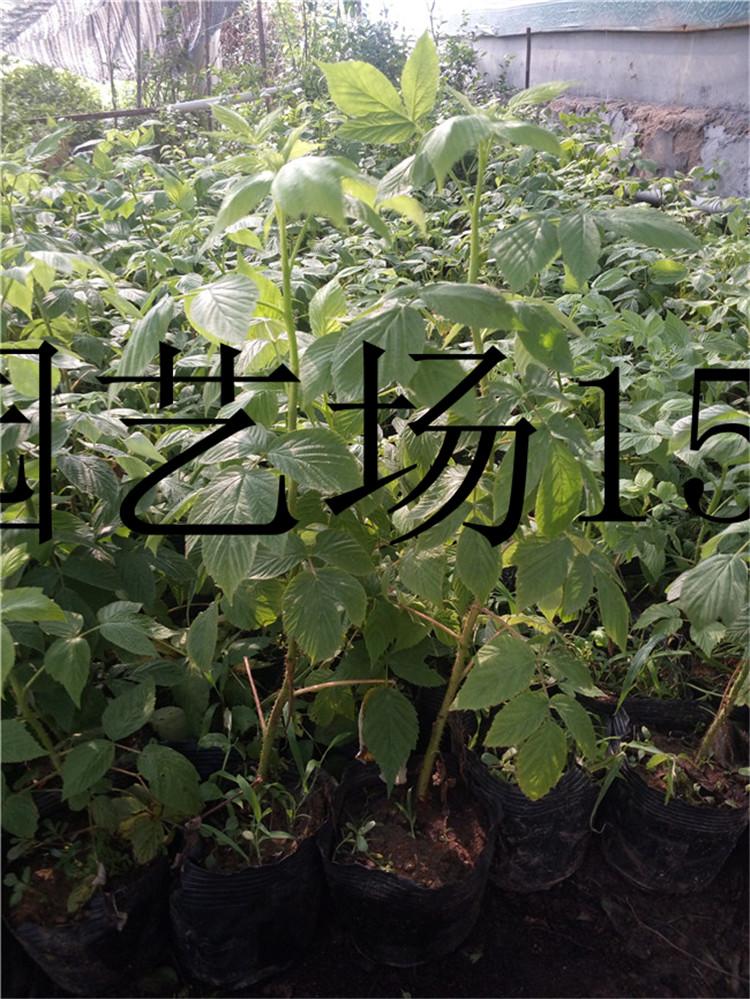 榆林蓝丰蓝莓苗种植基地