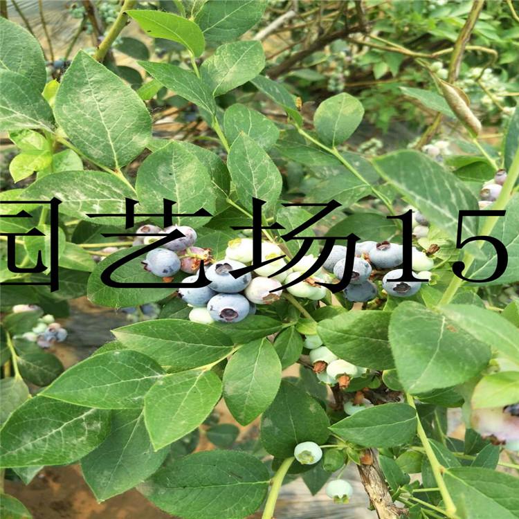 贵阳1公分红树莓苗量大