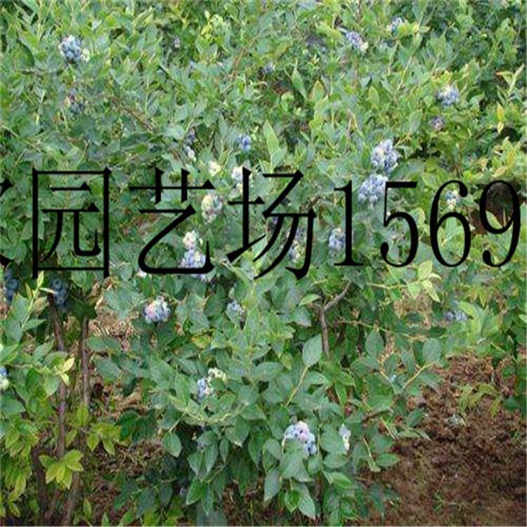 云南1公分红树莓苗价格