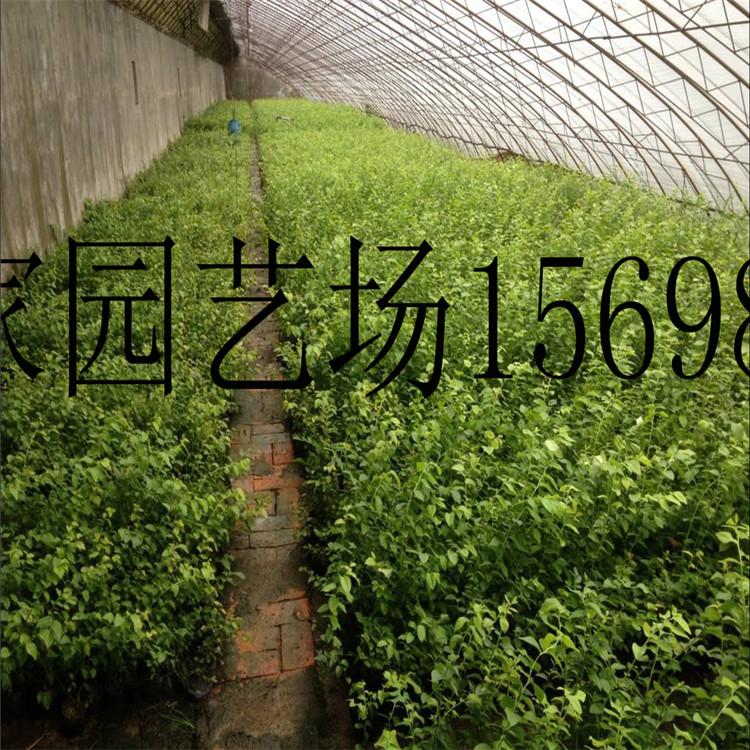 拉萨蓝丰蓝莓苗多少钱一株
