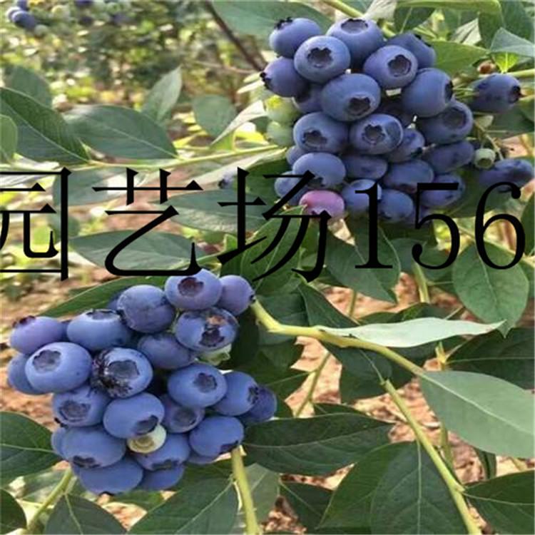 安顺1公分红树莓苗管理技术
