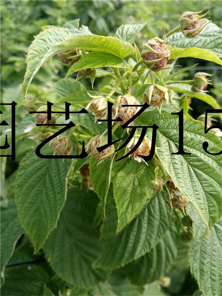 浙江单季红树莓苗提供技术支持