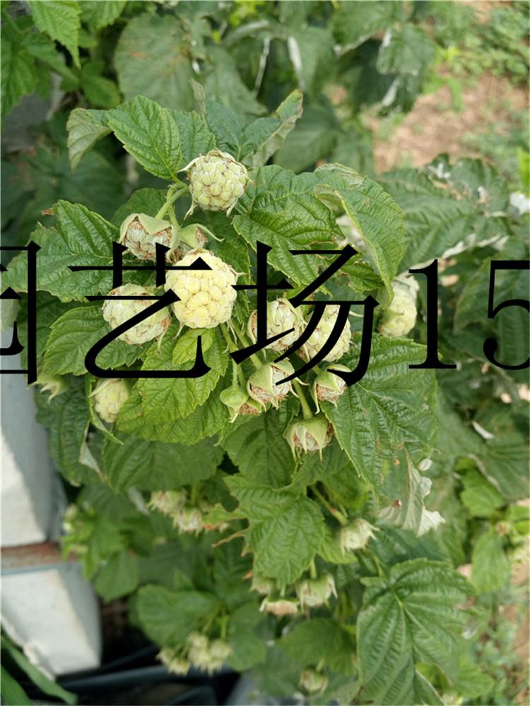 安徽单季红树莓苗提供技术支持