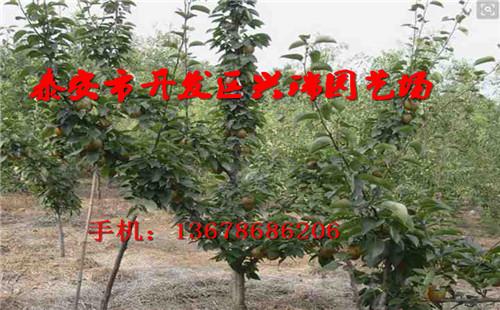 鸡西梨树专供