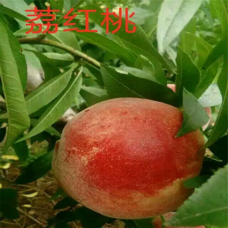 天津黑珍珠樱桃苗基地