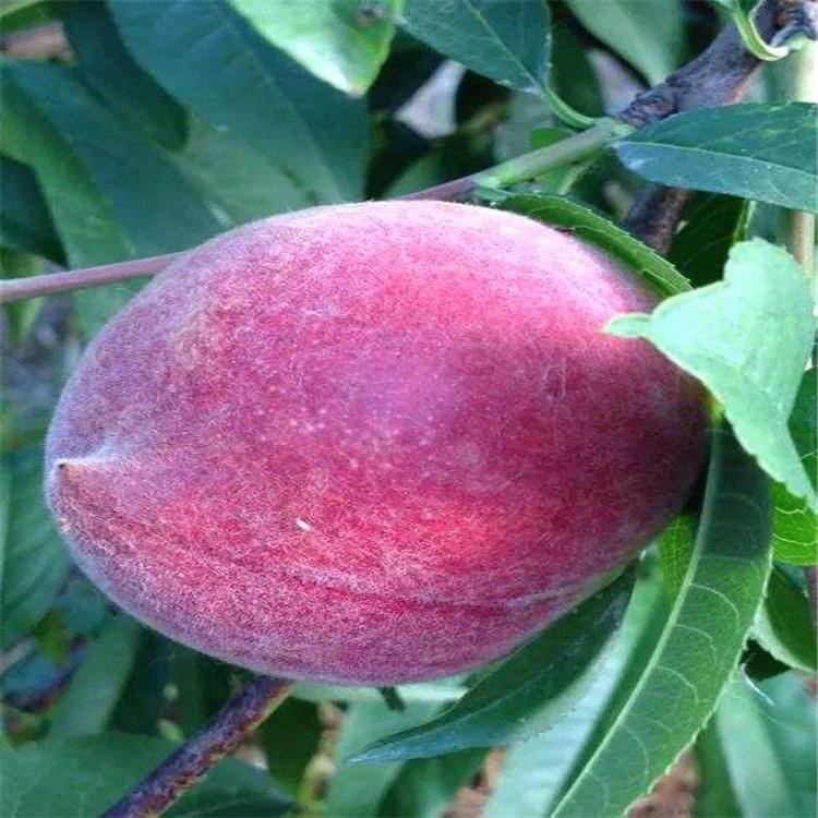 湖南甜柿苗多少钱一斤