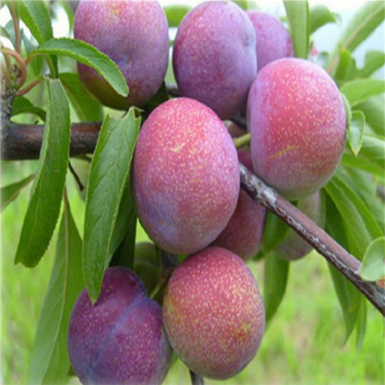 辽宁次郎甜柿苗种植基地