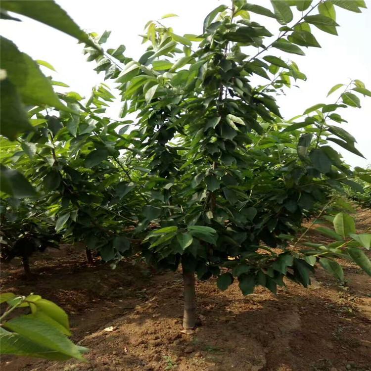 湖南富有甜柿苗种植方法