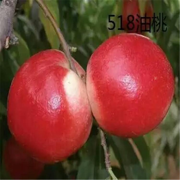 黑龙江美香桃苗种植基地