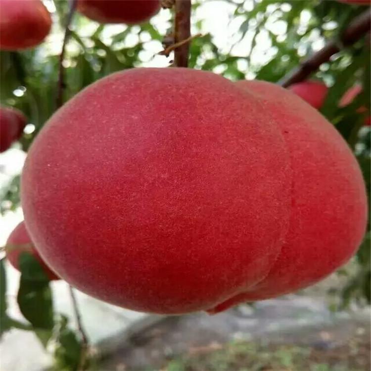 哈密秋彤桃树苗产品最可靠