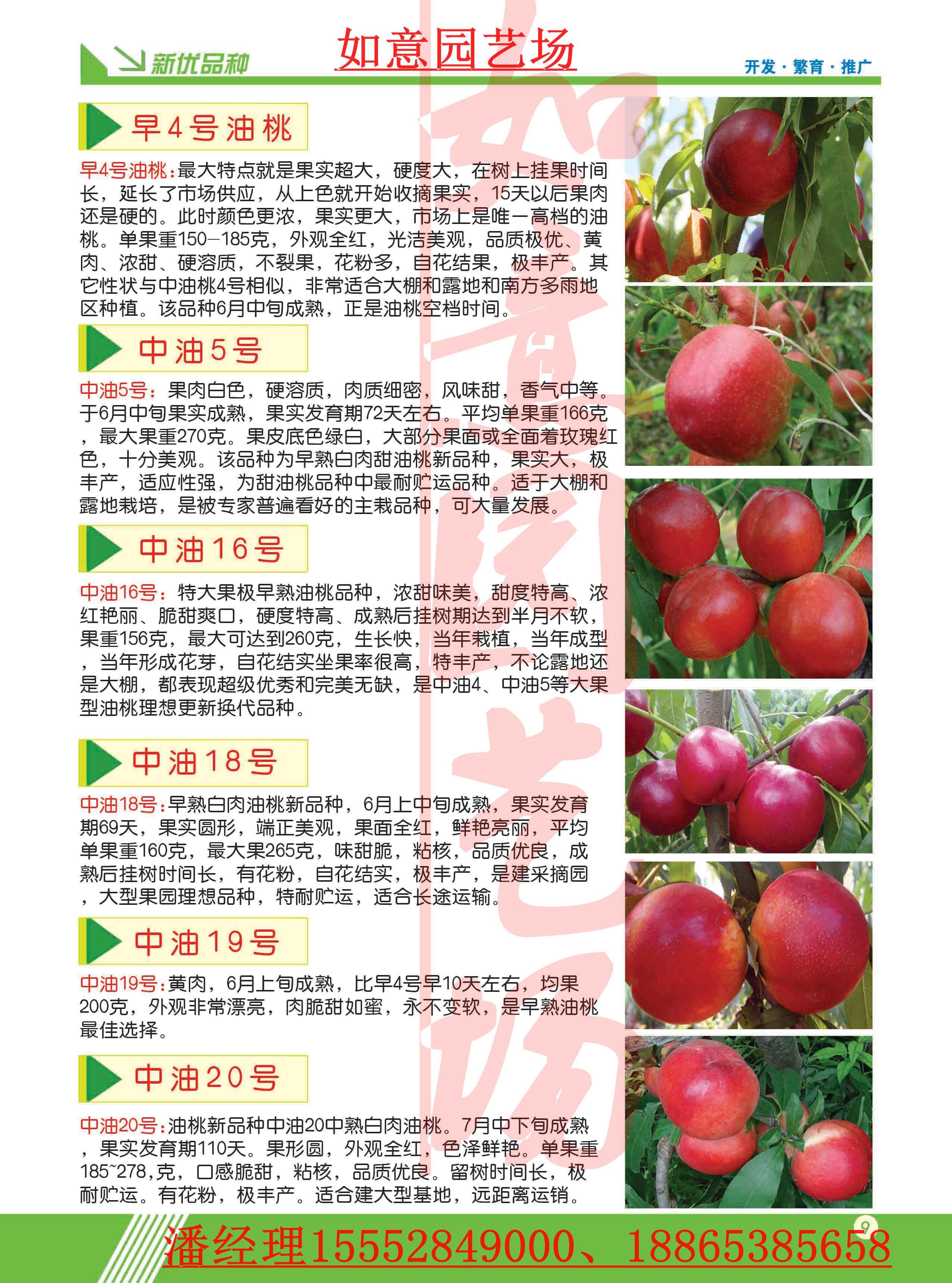 四川齐鲁巨红桃苗