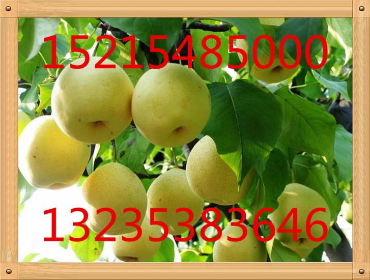聊城1公分以上大棚花椒树苗价格