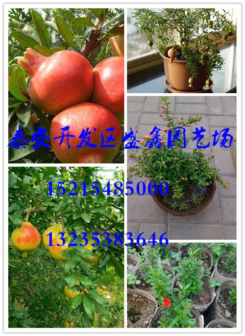 云秋柿树苗新品种